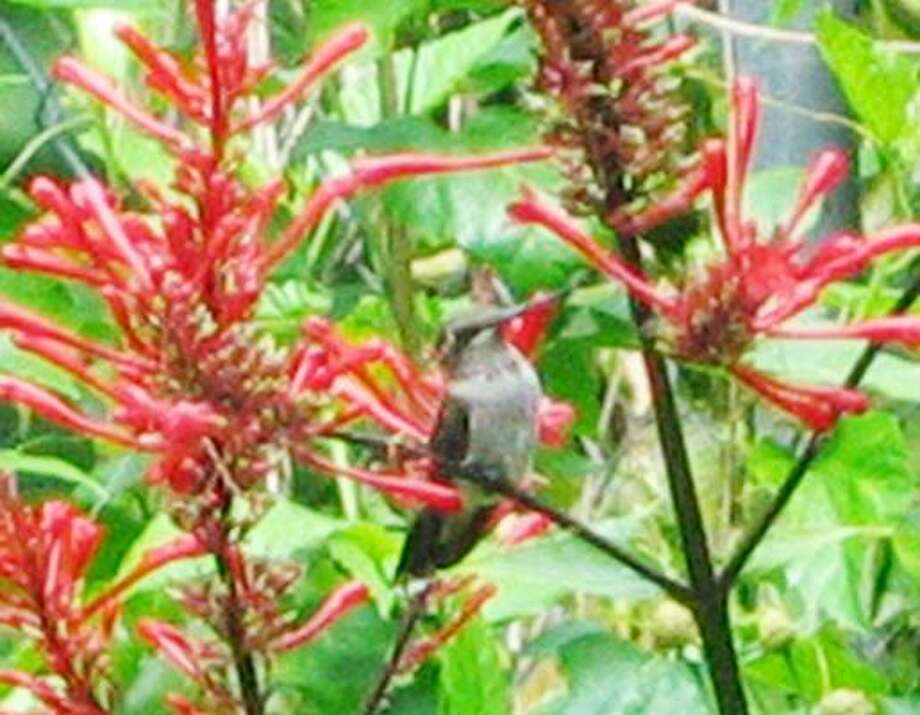 A hummingbird rests in a firespike, a favorite for these jewels of nature. Photo: BRENDA BEUST SMITH, Houston Chronicle