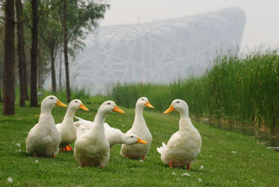 July 26, 2008:Ducks in Beijing waddle along the banks of the Olympic lake north of the National Stadium on on the Olympic Green. Photo: FREDERIC J. BROWN, AFP/Getty Images