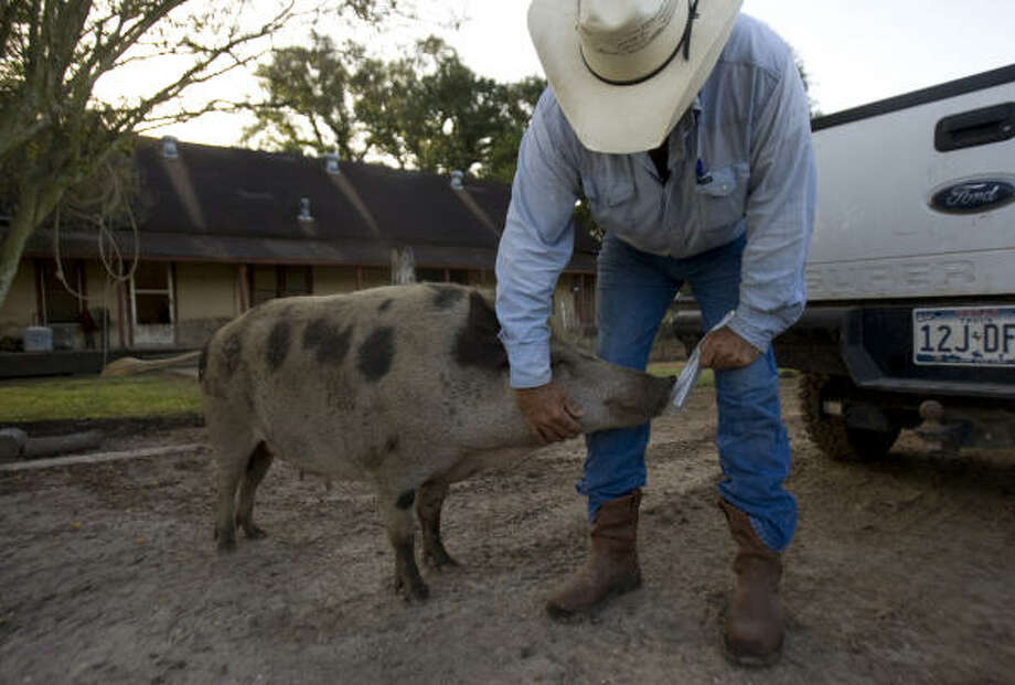 China Grove Ranch manager Mike Veara pets Squeaky before heading out to pasture in Bonney. Photo: Johnny Hanson, Chronicle