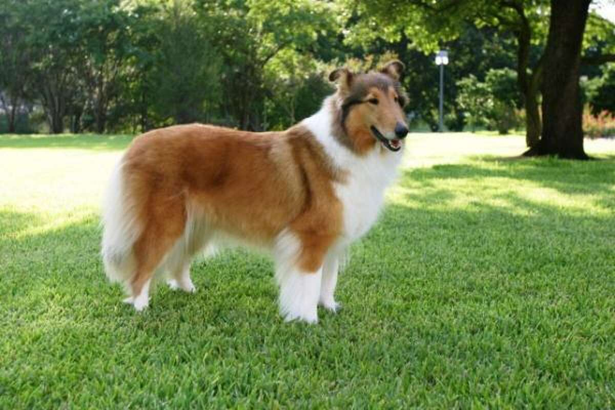 Reveille VIII , a sable and white AKC-registered collie from Topeka, Kan., will retire at the end of the 2014-15 academic year. She made her public debut during A&M's season-opening football game in 2008. Check out the First Lady of Aggieland with these photos of Reveille through the years ...