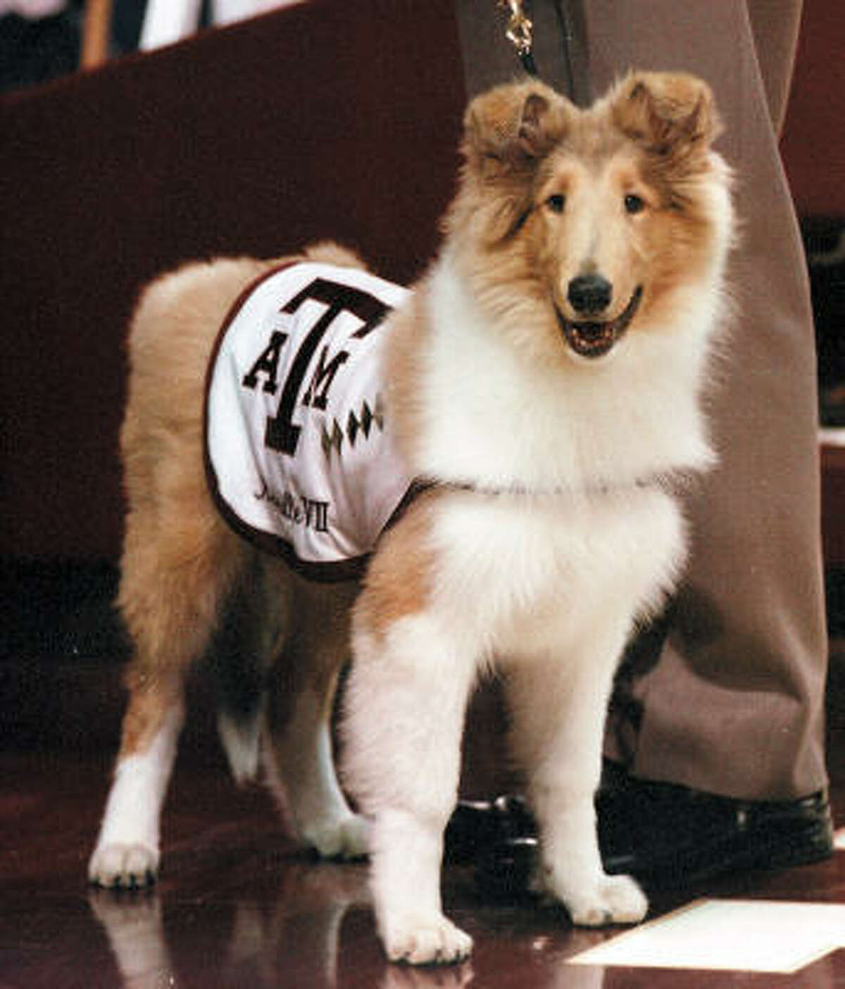 Reveille VII looks at the crowd during her debut before the start of the basketball game between Texas A&M and Missouri on Feb. 17, 2001, in College Station.
