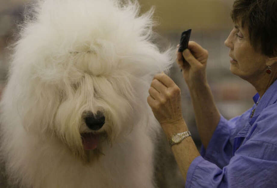 Marilyn O'Cuilinn, of Mineral Wells, prepares Fred, an Old English Sheepdog, for judging at the Reliant Park dog show on July 20. Photo: Melissa Phillip, Chronicle