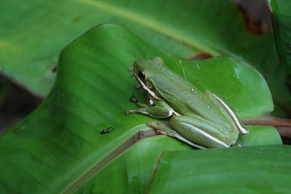 Tree frog rests on a variegated banana leaf.