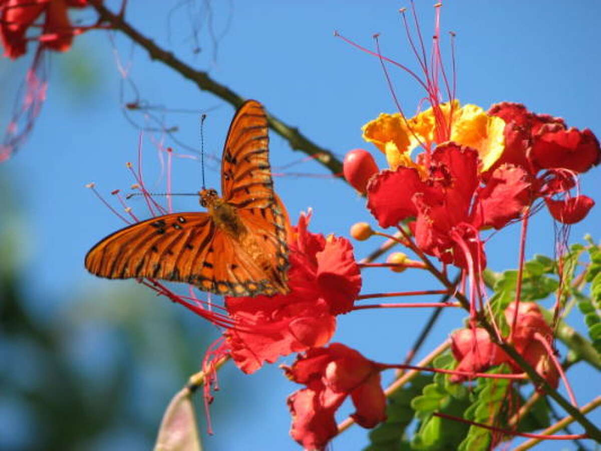Gulf fritillary butterfly on a Pride of Barbados flower.