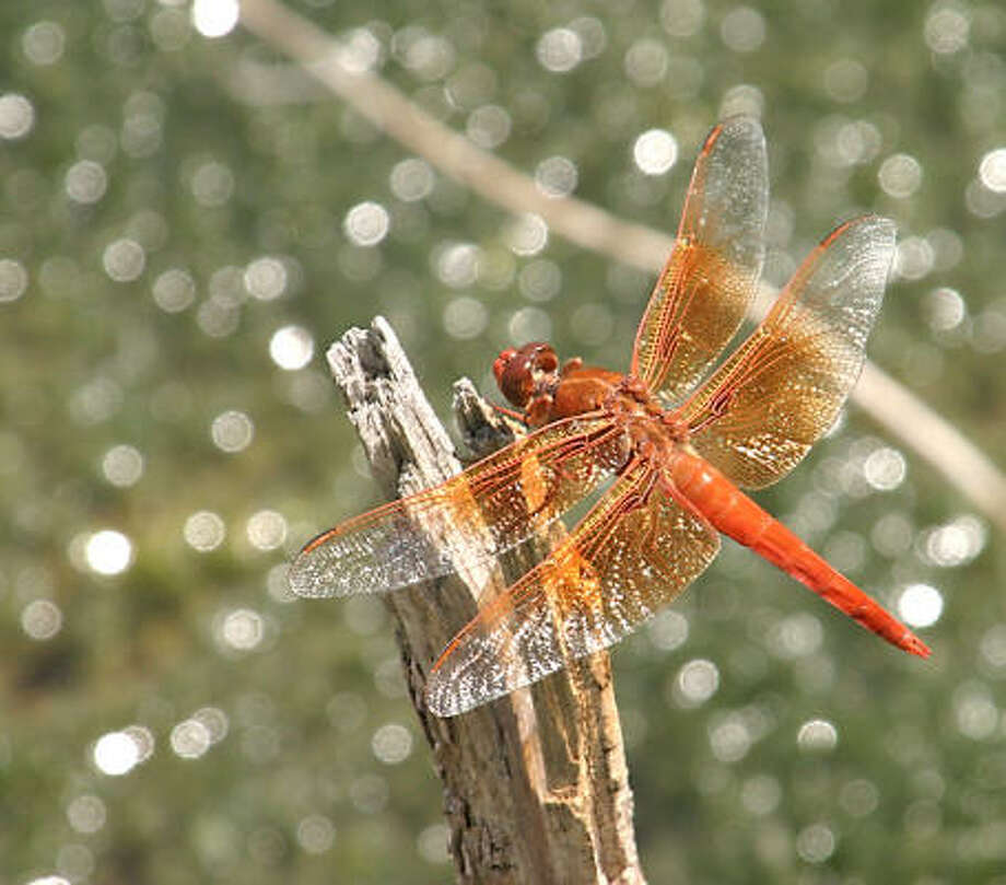 Red skimmer dragonfly  Photo: BILL MOFFITT, AP