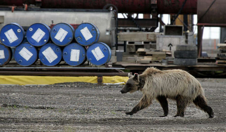 A grizzly bear wanders around Deadhorse, Alaska, on Thursday. The town is home to hundreds of workers in the Prudhoe Bay area. BP said it will decide next week whether to shut down production on the western portion of the oil field. Photo: AL GRILLO, AP