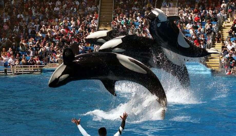 Watch Shamu and his pals perform at Sea World Texas in San Antonio. Photo: JOE BARRERA, JR., San Antonio Express-News
