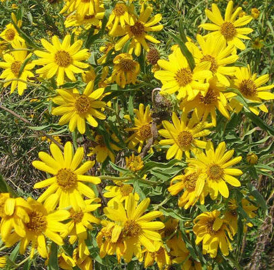 Maximilian sunflowers, blooming in the Anahuac National Wildlife Refuge, are one of the easiest wildflowers to grow.   Photo: Brenda Beust Smith