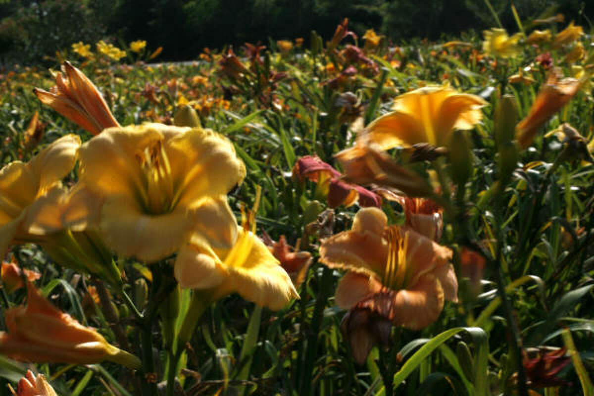 Seedling daylilies at the home of Nell and Harvey Shimek. The Shimeks' have more than 850 varieties of daylilies, not including unnamed seedlings.