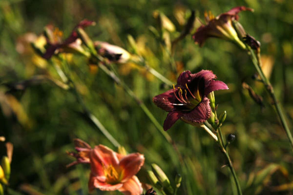 Seedling daylilies in one of the many gardens at the home of Nell and Harvey Shimek in Alvin.