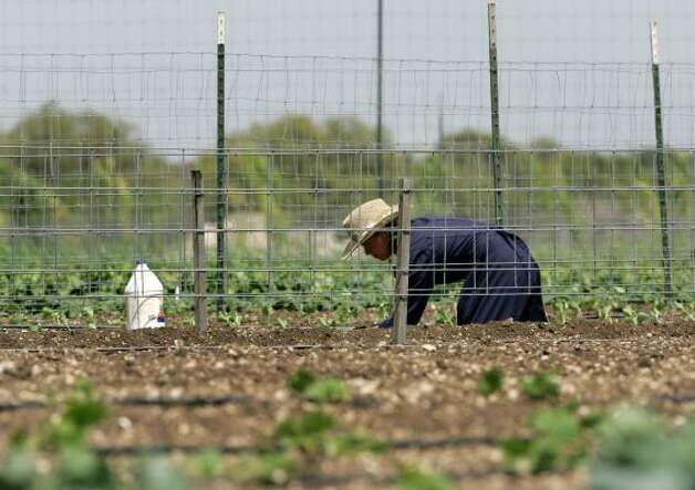 A member of the Fundamentalist Church of Jesus Christ of Latter Day Saints works in the garden on the ranch on April 16. Photo: Tony Gutierrez, AP