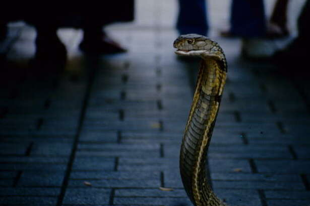 At the the Queen Saovabha Memorial Institute in Bangkok, known as the Snake Farm, the handlers bring out the snakes, such as this cobra, and keep close tabs on them as the show's narrator describes them.