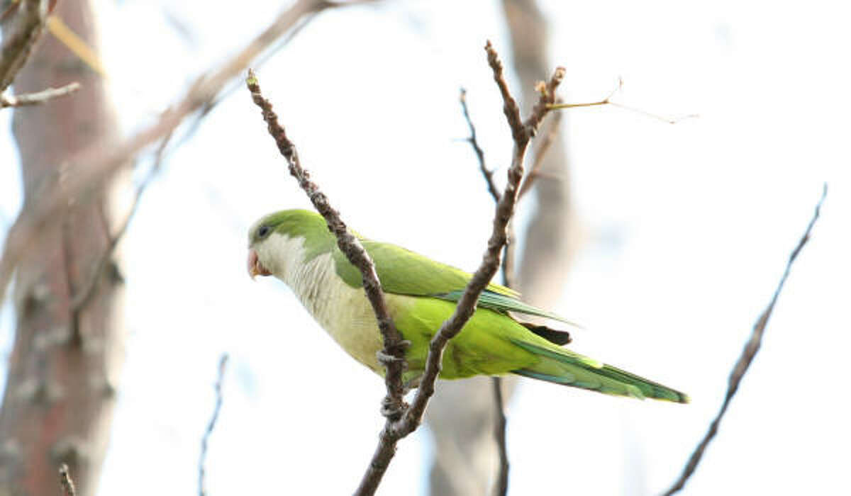 Monk parakeets are hardy birds that can live 30 years.