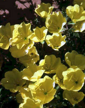 Name that flower.See the answerMissouri primrose (Oenothera missouriensis): One of many primroses native to Texas, this perennial has lemon-yellow ``buttercups'' with four petals. Compact, it's often under a foot tall. Blooms: spring to fall. Photo: Texas Department Of Transportation