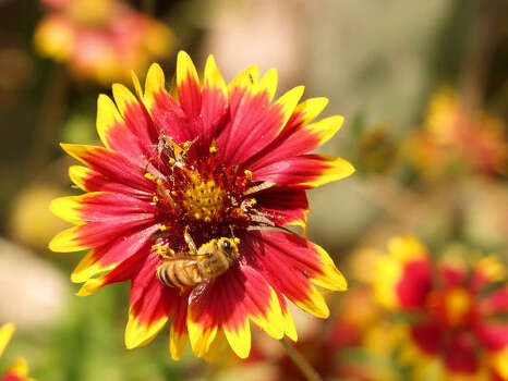 Name that flower.See the answerIndian blanket (Gaillardia pulchella): This showy roadside attraction is known for its 2-inch daisylike blooms with yellow-tipped red rays surrounding a red or dark-purple center. The familiar blooms on this 1- to 2-foot annual are enjoyed statewide. Blooms: April-August, longer with rains.  Photo: Ronald Sprouse
