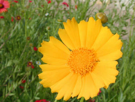 Name that flower.See the answerLanceleaf coreopsis (Coreopsis lanceolata): The brilliant 1/2-inch blooms of this 12- to 30-inch perennial open the coreopsis season in the eastern half of the state. The cheery yellow rays enclose a distinctive yellow disk.  Blooms: March-June.  Photo: Joseph Marcus, Lady Bird Johnson Center