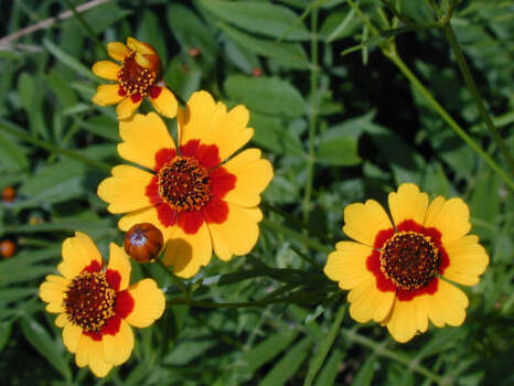 Name that flower.See the answerPlains coreopsis (Coreopsis tinctoria): These 1 1/4-inch yellow blooms have eight yellow rays with contrasting brownish-red spots at the base. The charming flowers accessorize slender, multibranched annual plants. Blooms: April-June; possibly more in Houston area. Photo: Joseph Marcus, Lady Bird Johnson Center