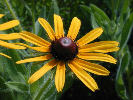 Name that flower.See the answerBlack-eyed Susan (Rudbeckia hirta): This beloved member of the sunflower family warms fields, roadways and home gardens with its yellow ray blooms. The petals enclose a chocolate-brown disk, therefore the common name. Flowers appear on mounding 1- to 3-foot-tall plants. Blooms: May-October or longer. Photo: Joseph Marcus, Lady Bird Johnson Center