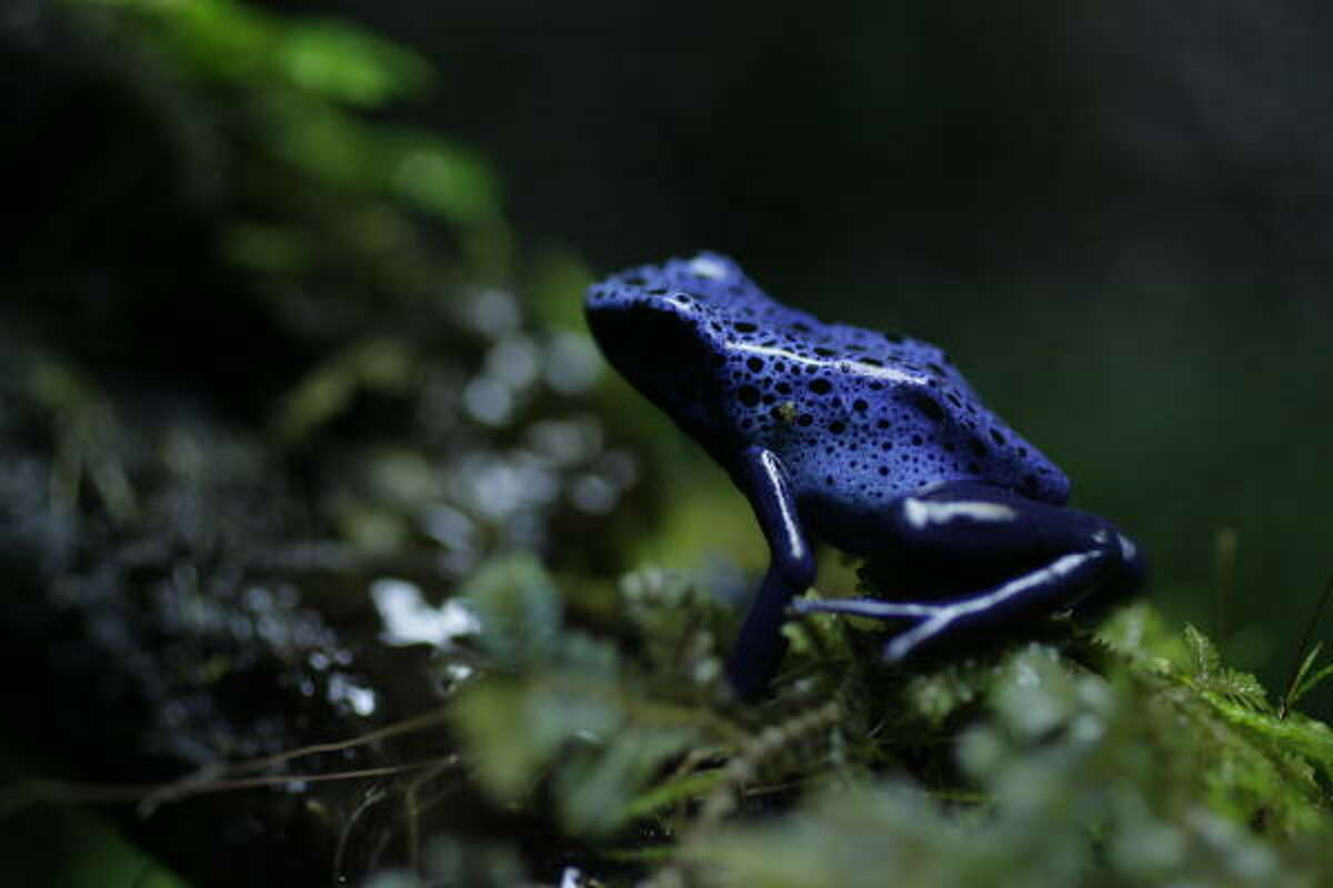 A blue poison dart frog, also known as a cobalt poison dart frog,at the Houston Zoo.