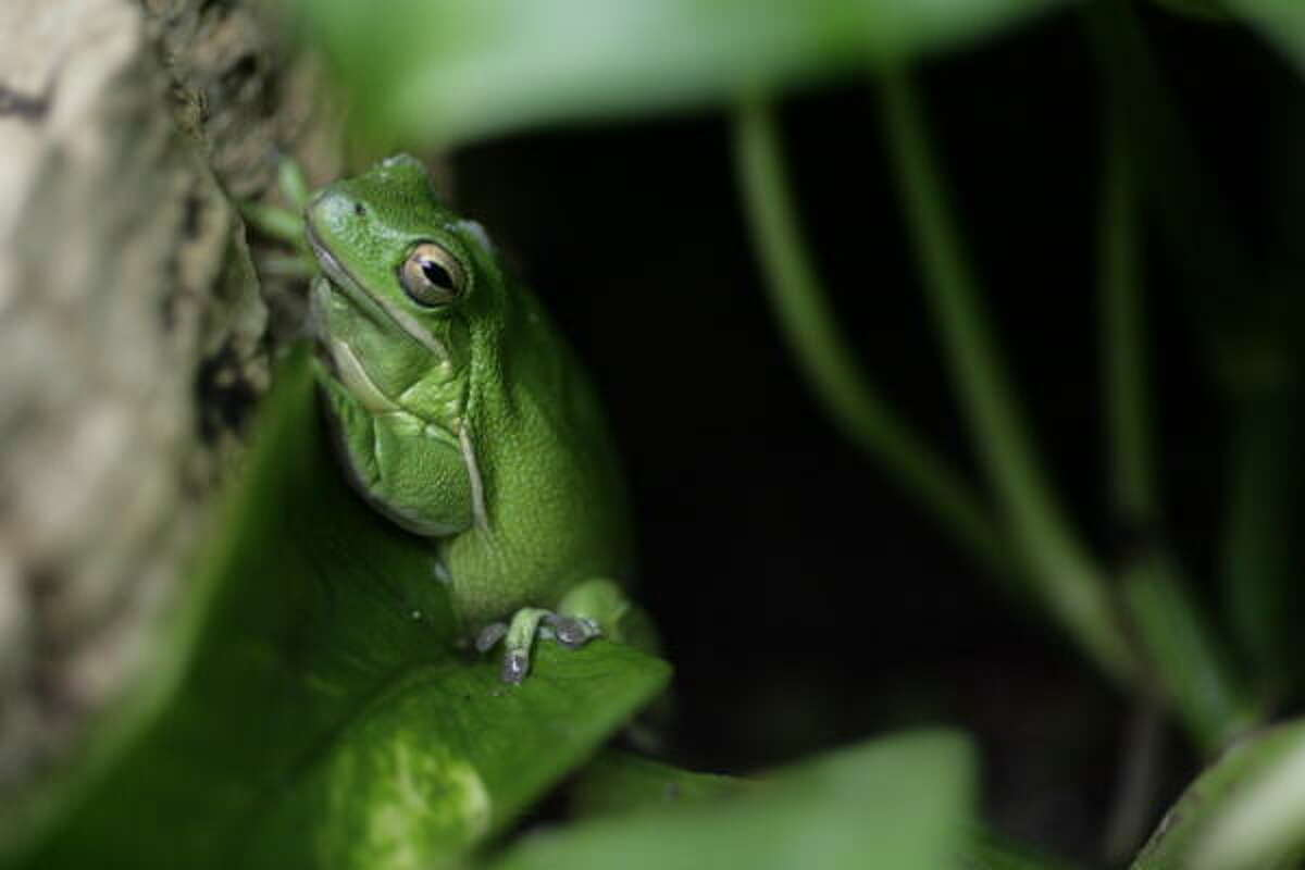 A green tree frog at the Houston Zoo.
