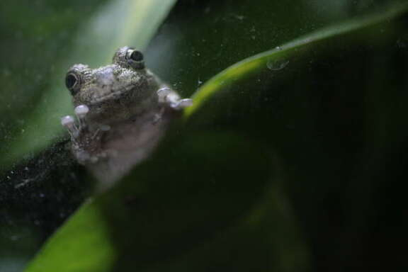 A grey tree frog, which is native to Houston, at the Houston Zoo.