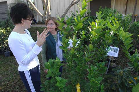 Master Gardeners Tree Sale Houston Chronicle