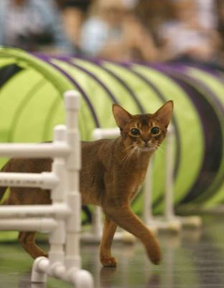Crawdaddy, an Abyssinian cat, walks around an agility obstacle. Photo: Johnny Hanson, Chronicle