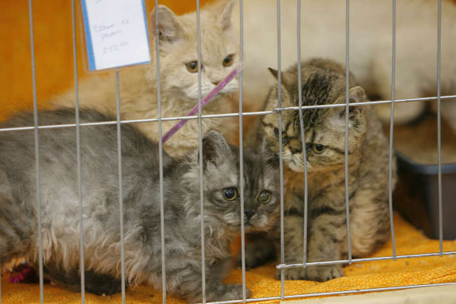 A cage of Selkirk Rex kittens. Photo: Steve Campbell, Chronicle