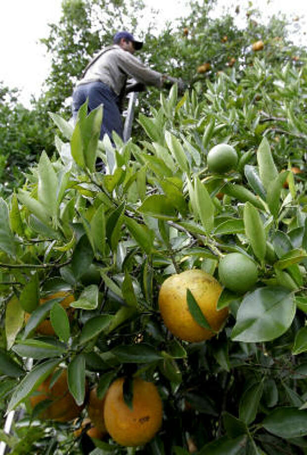 A farm worker reaches for valencia oranges near the top of a tree in an Arcadia, Fla., grove in July. The worst Florida citrus crop in more than a decade is driving up orange juice prices by 4 percent to 8 percent. Photo: CHRIS O'MEARA, AP