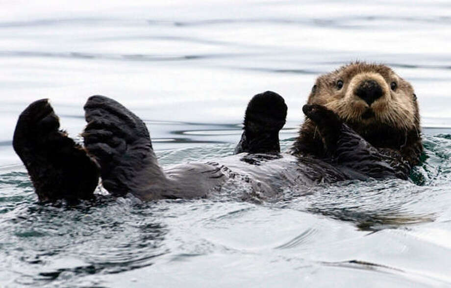 Sea otters, such as this one in Kachemak Bay, Alaska, were put on the endangered species list in August 2005. Photo: LAURA RAUCH, AP File