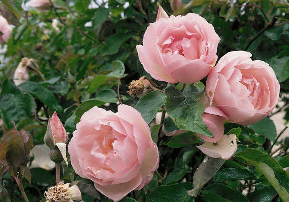 'Duchesse de Brabant,' an EarthKind rose, is said to have been Teddy Roosevelt's favorite rose. Photo: EarthKind Rose Program
