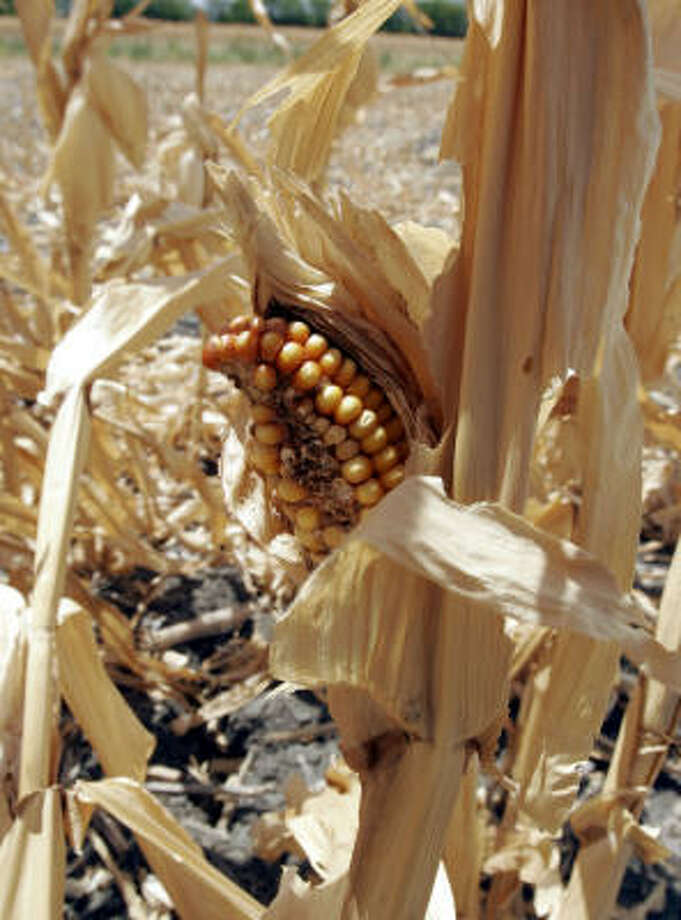 Drought conditions, shown here in the Texas town of Princeton, are devastating a variety of crops including corn. Direct economic losses from the current drought on are estimated to have eclipsed the $4 billion mark. Photo: RON HEFLIN, AP