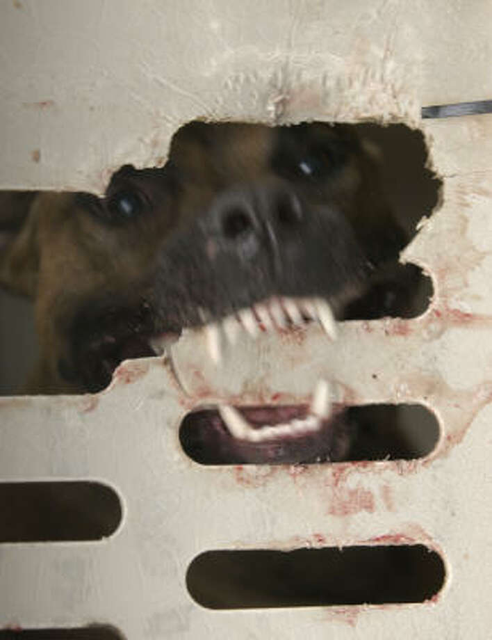A pit bull tries to chew its way out of a carry kennel during a raid in northwest Harris County by the Houston SPCA and the Harris County Sheriff's Department in October 2003. Photo: Steve Ueckert, Chronicle