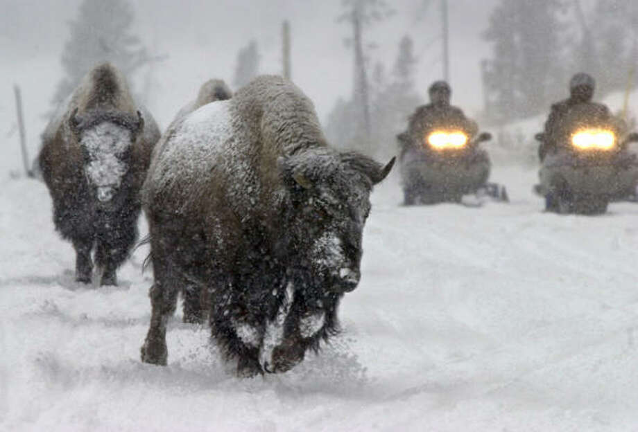 Bison share a snow-covered trail with snowmobilers in Yellowstone National Park. Photo: NATI HARNIK, Associated Press