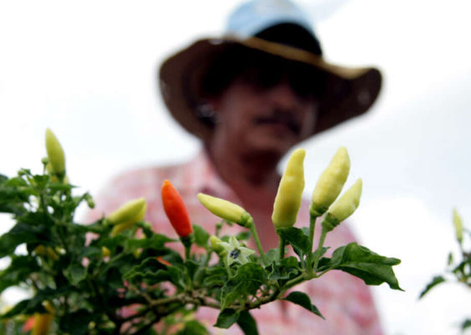 A farmer picks tabasco chilies in Sahagun, Colombia. Photo: Marcelo Salinas, For The Chronicle
