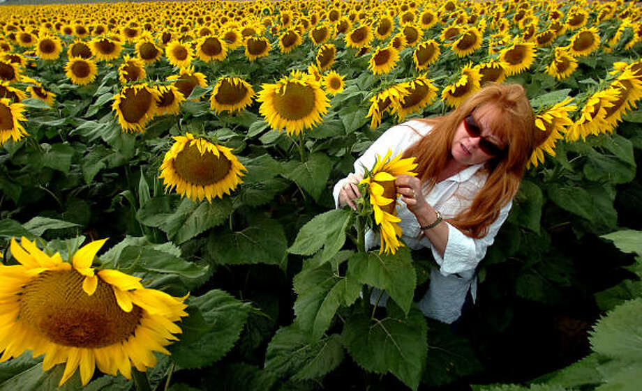 Tina Garcia, admires a sunflower in a field just outside of Longmont, Colo. Sunflowers, which need less water and produce good yields in the drought-plagued high plains, are a booming industry for Colorado. Photo: SAMMY DALLAL, Daily Camera