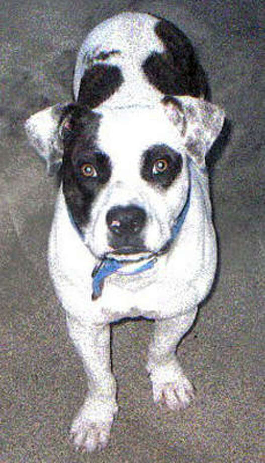Petie has been missing from the Northeast HPD station since Oct. 15.