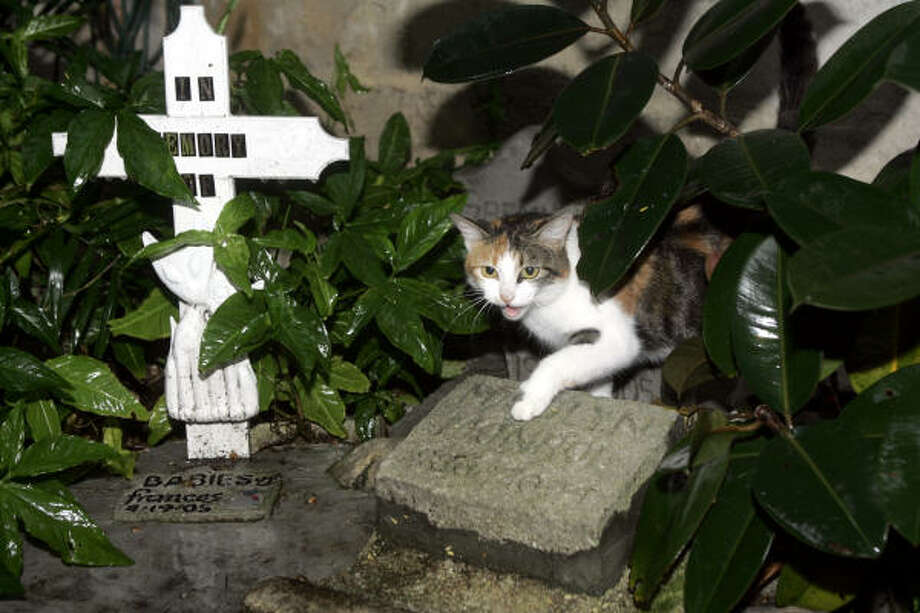 Audrey, one of the six-toed offspring of the cats given to Ernest Hemingway, and a current resident of the Hemingway House in Key West, Fla., steps onto  one of the tombstones of her predecessors at a small cat graveyard at the house in August. Photo: WILFREDO LEE, AP File