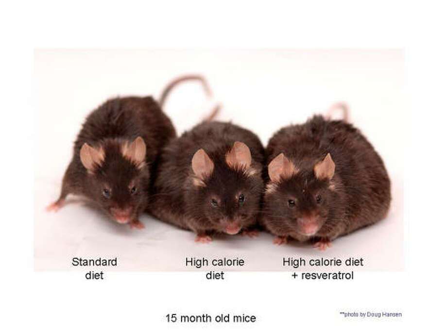 An undated handout photograph shows three mice that have taken part in a Resveratrol trial. Resveratrol, a compound found in red wine and grapes, can extend the lifespan of obese mice and help them enjoy a healthier old age, scientists say. Photo: REUTERS
