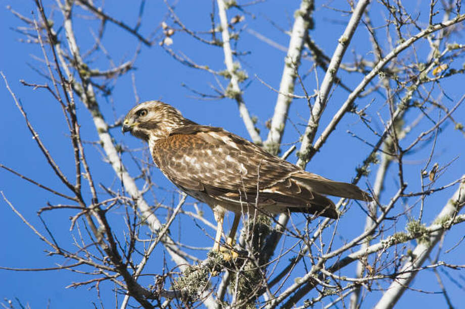 HawkWatch International is a non-profit organizatoin dedicated to monitoring and protecting birds of prey, such as the red-tailed hawk, and their environment. Photo: Kathy Adams Clark
