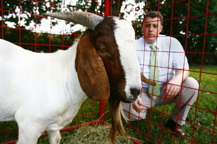 Veterinarian Jeff Chalkley checks on the Bellaire High School Future Farmers of America club's injured billy goat Thursday afternoon at the Westbury Animal Hospital. Photo: Steve Ueckert, Chronicle