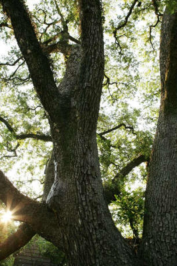 Massive live oaks Photo: Jill Hunter, For The Chronicle