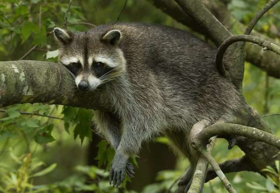 The agency killed 1,716 raccoons during the 2013 budget year. Photo: PATRICK DENNIS, AP