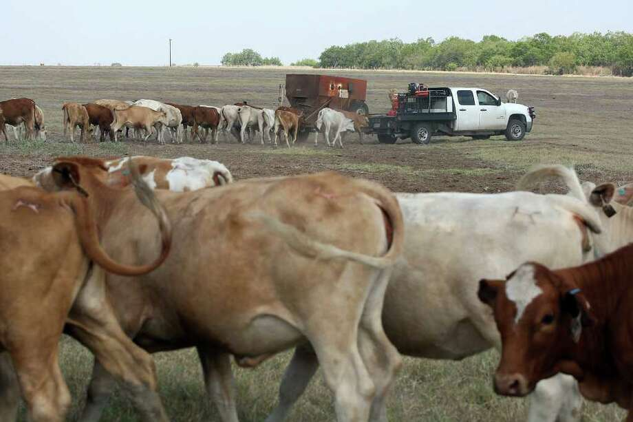 Cattle follow Ty Keeling as he feeds them protein range cubes in Wilson County. The drought forced him to use the cubes sooner. Photo: Jerry Lara/glara@express-news.net / SAN ANTONIO EXPRESS-NEWS