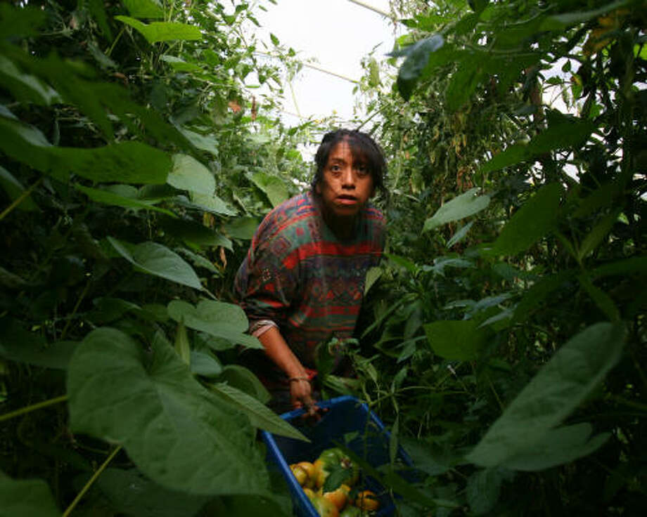 Maricela Bautista of Chipas, Mexico, picks tomatoes at Bobby Chambers' farm in Lowland, Tenn. Chambers says the area's Anglo residents won't take the jobs. Photo: Sharón Steinmann, Chronicle