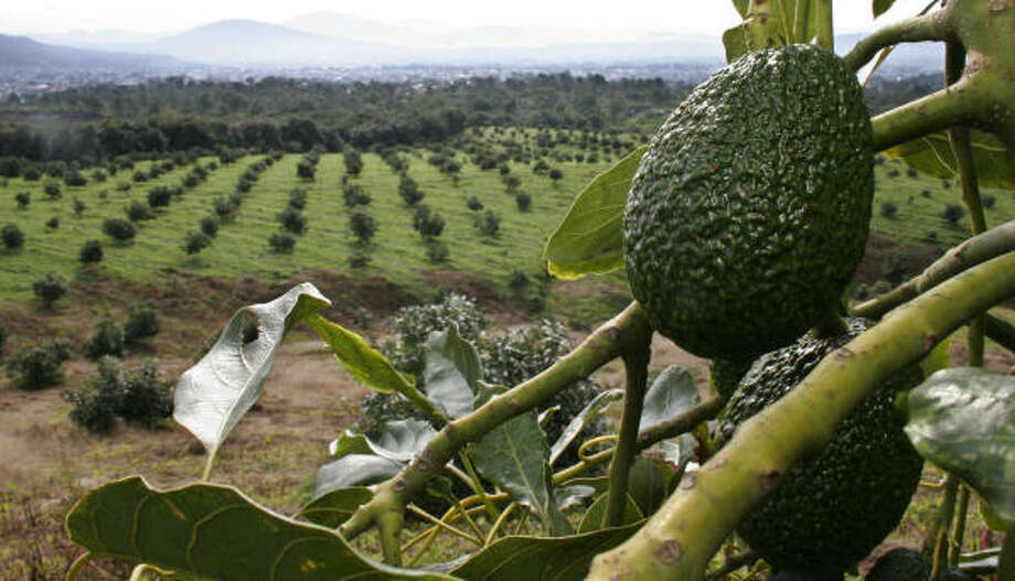 Precipitation, rich soils and elevations of 4,200 to 5,200 feet have turned Uruapan, Mexico, and surrounding municipalities in the state of Michoacán into the country's most productive avocado region. The area is in central Mexico near the Pacific coast. Photo: Leopoldo Smith, For The Chronicle