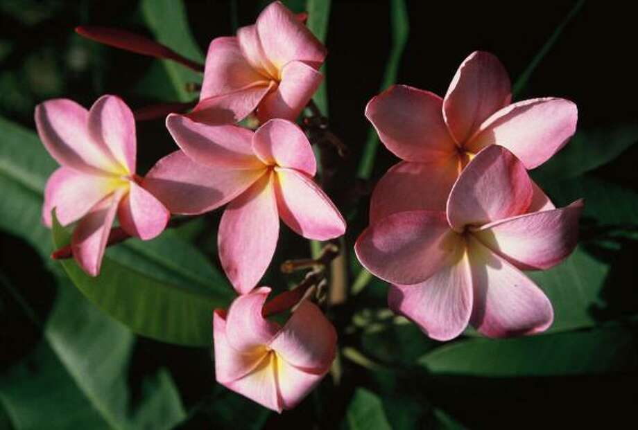 `Louise's Pink' is a popular plumeria in the Houston area. Photo: Brenda Beust Smith