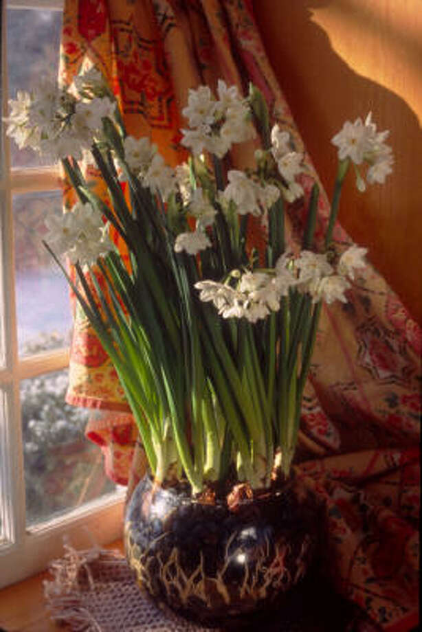 Paperwhites can be coaxed to produce flowers in a bowl of pebbles and water. Photo: Neherlands Flower Bulb