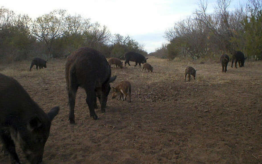 The typical group of feral hogs holds an adult sow and her piglets along with one or two of the sow's adult daughters and their broods. Females usually begin breeding at 8-10 months. Photo: Les Tompkins, For The Chronicle