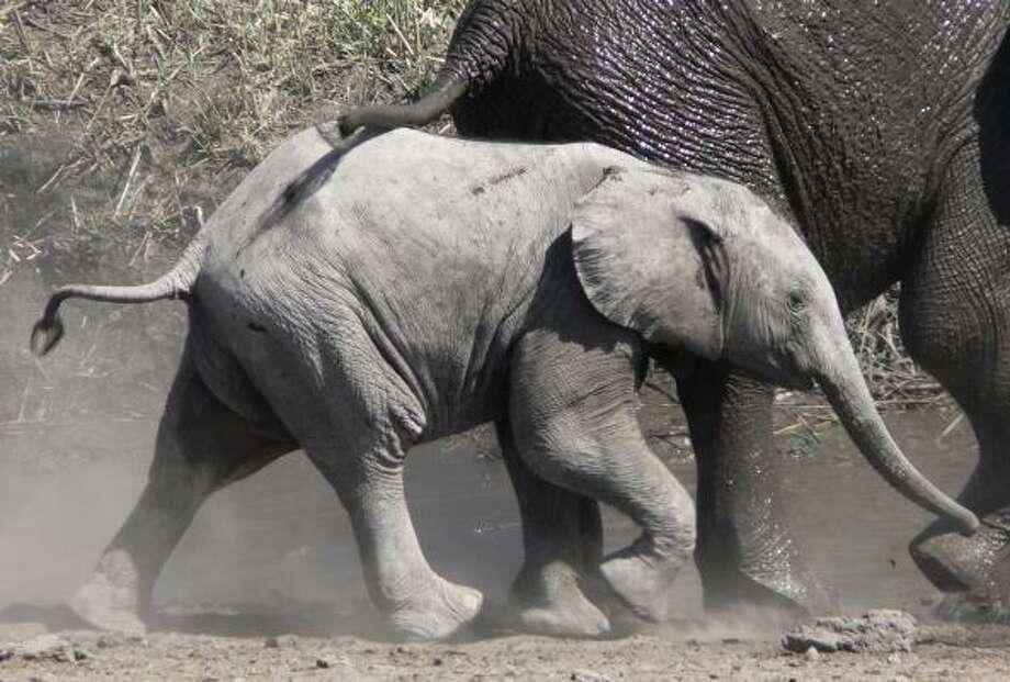 Elephants play in Namibia's Etosha National Park. Photo: Ute Von Ludwiger, Associated Press